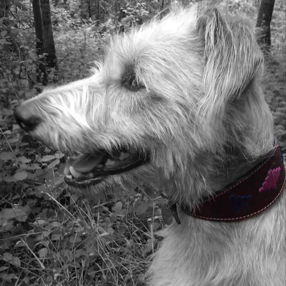 Hesta wearing the Diana Greyhound Dog Collar